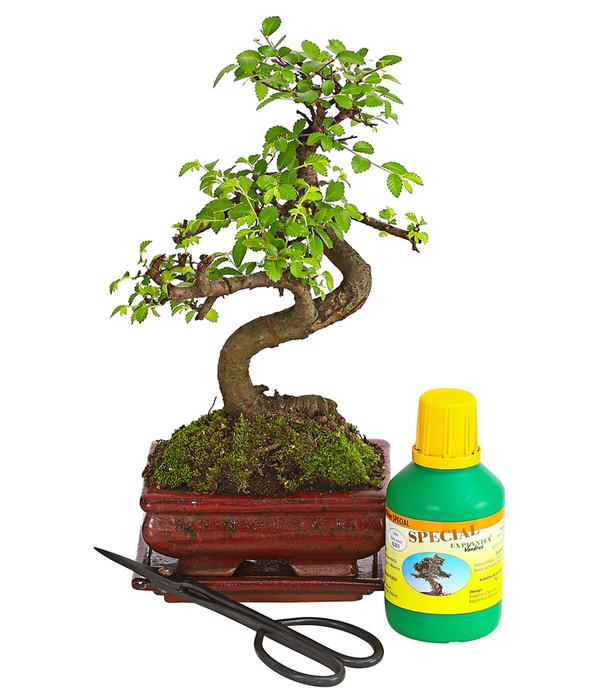 Bonsai Anfänger bonsai anfänger-geschenkset - chinesische ulme | dehner