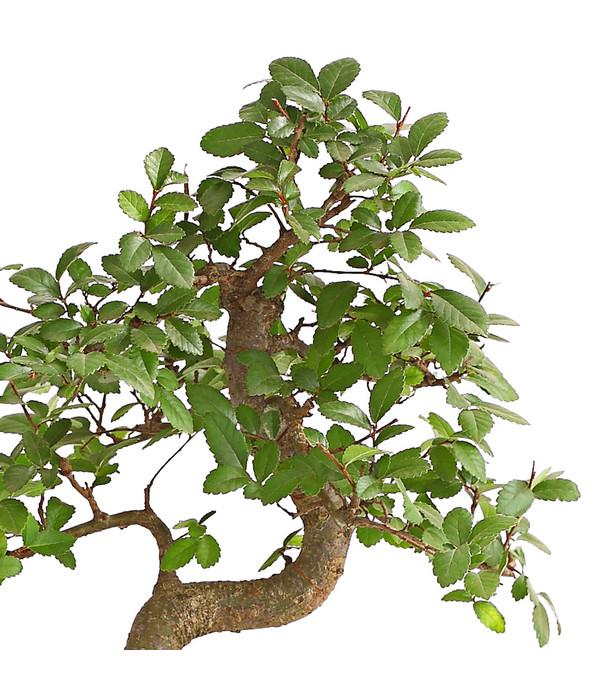 Bonsai japanische zelkove dehner - Japanische zimmerpflanzen ...
