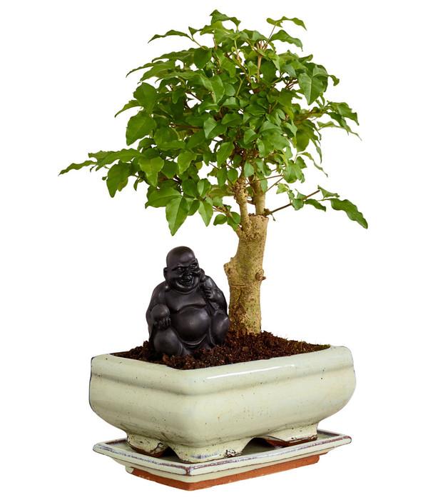 bonsai mit buddha sortenmix dehner. Black Bedroom Furniture Sets. Home Design Ideas