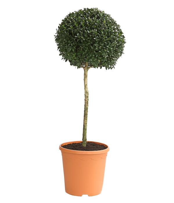 buchs gew hnlicher buchsbaum st mmchen dehner. Black Bedroom Furniture Sets. Home Design Ideas