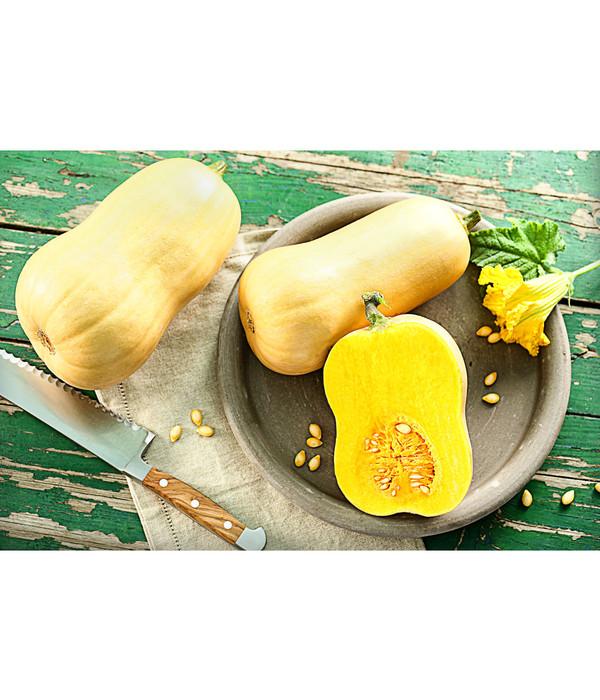Butternut Kurbis Pflanze Dehner