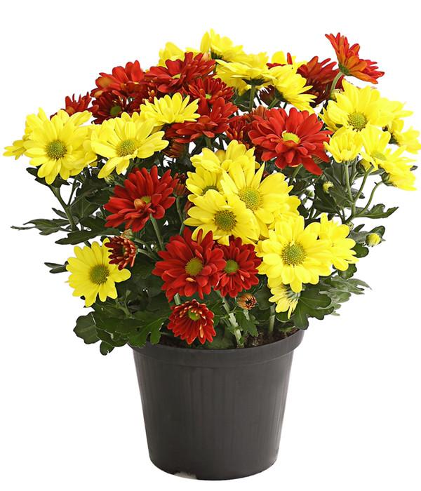 chrysantheme 39 twin 39 gelb orange dehner. Black Bedroom Furniture Sets. Home Design Ideas