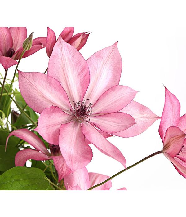clematis waldrebe rosa dehner. Black Bedroom Furniture Sets. Home Design Ideas