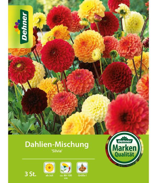 Etwas Neues genug Dehner Blumenzwiebel Dahlien-Mischung 'Silvia' | Dehner #CY_15