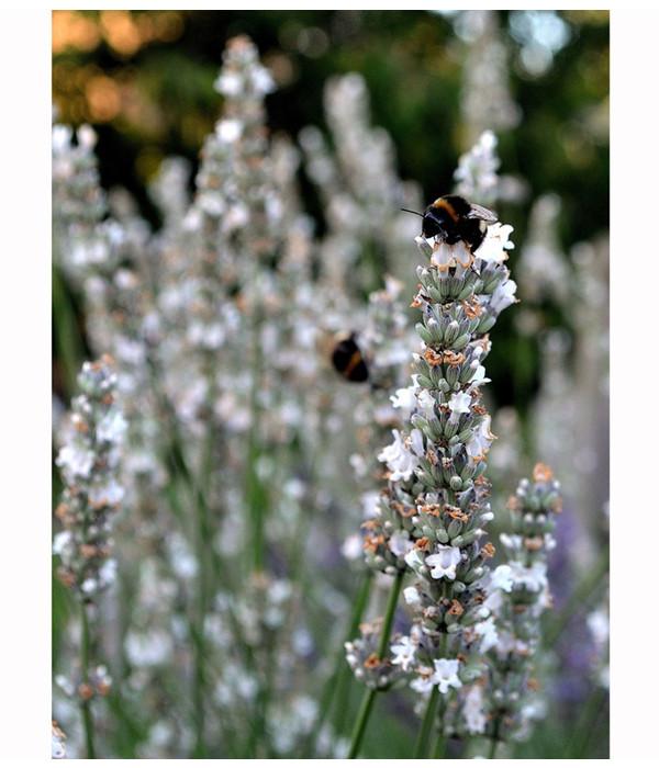 Dehner downderry lavendel 39 arctic snow 39 dehner - Duftende gartenpflanze ...