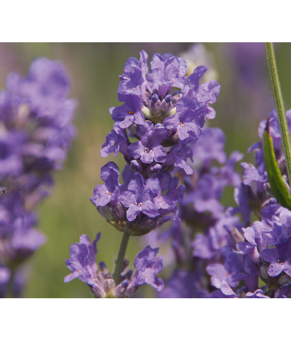 Dehner downderry lavendel 39 cedar blue 39 dehner - Duftende gartenpflanze ...