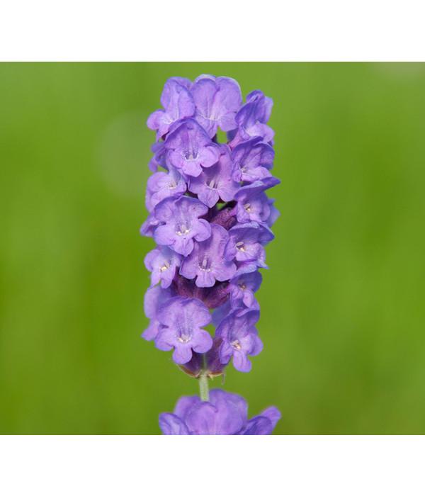Dehner downderry lavendel 39 loddon blue 39 dehner - Duftende gartenpflanze ...