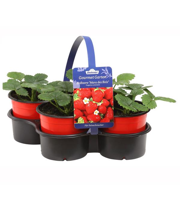 dehner gourmet garten erdbeere 39 mara des bois 39 4er pack dehner. Black Bedroom Furniture Sets. Home Design Ideas