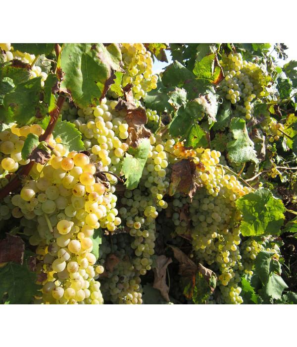 Dehner gourmet garten wein 39 palatina 39 dehner for Weintrauben im garten anbauen