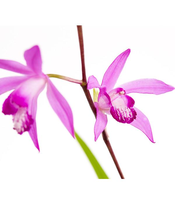 Dehner Japanorchidee Gartenorchidee Dehner