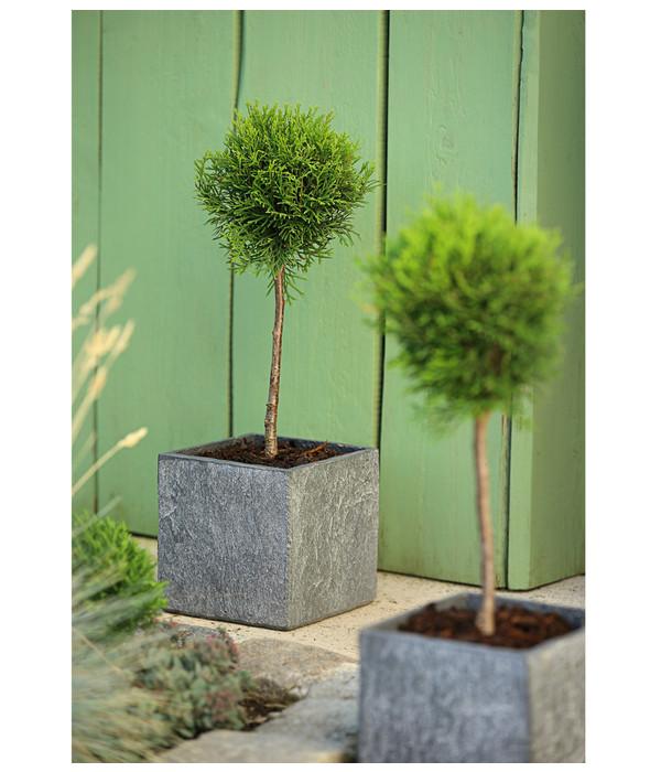 dehner lebensbaum 39 smaragd 39 st mmchen dehner. Black Bedroom Furniture Sets. Home Design Ideas