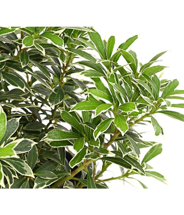 dehner schattengl ckchen japanische lavendelheide 39 little heath 39 dehner. Black Bedroom Furniture Sets. Home Design Ideas