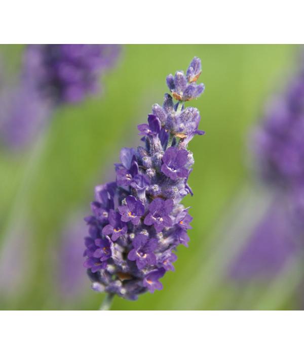 Downderry lavendel 39 sawyers 39 dehner - Duftende gartenpflanze ...
