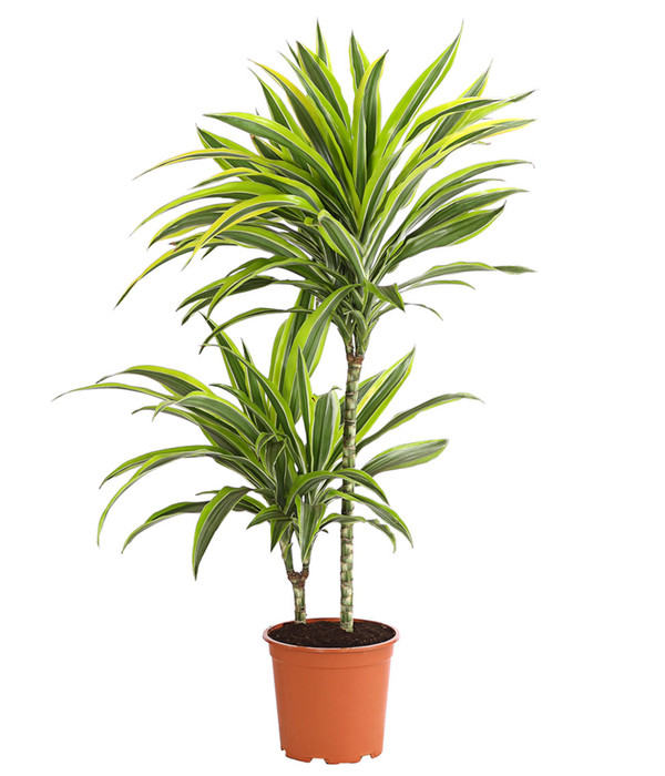 Drachenbaum 39 lemon lime 39 dehner for Drachenbaum zimmerpflanze
