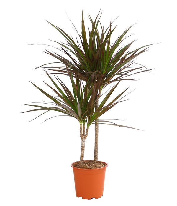 Drachenbaum 39 magenta 39 dehner for Drachenbaum zimmerpflanze
