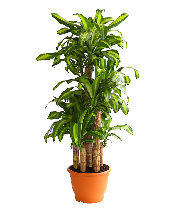 Drachenbaum 39 massangeana 39 karussell dehner for Drachenbaum zimmerpflanze