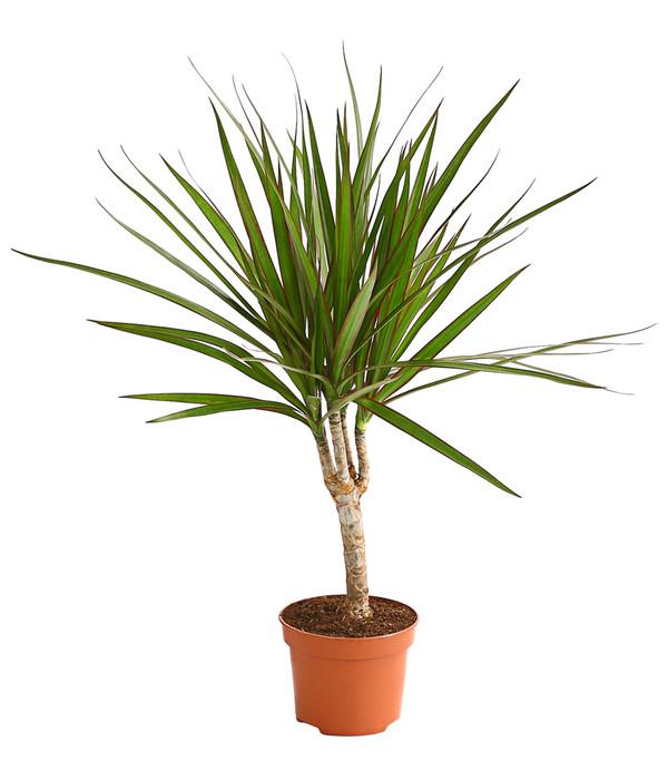 Drachenbaum dehner for Drachenbaum zimmerpflanze