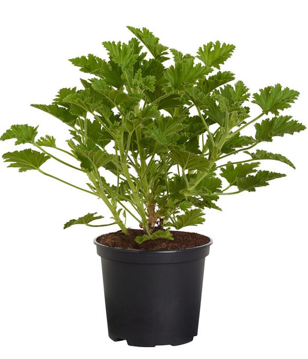 Duftgeranie dehner - Duftende gartenpflanze ...