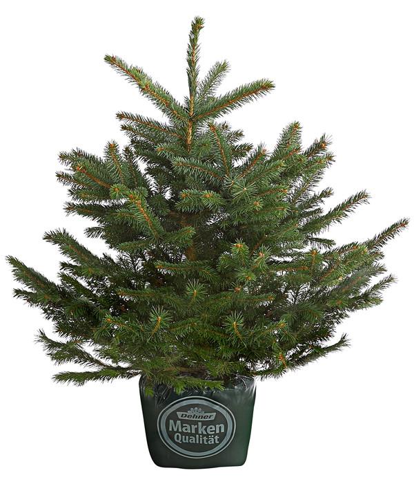 Weihnachtsbaum im topf gezogen