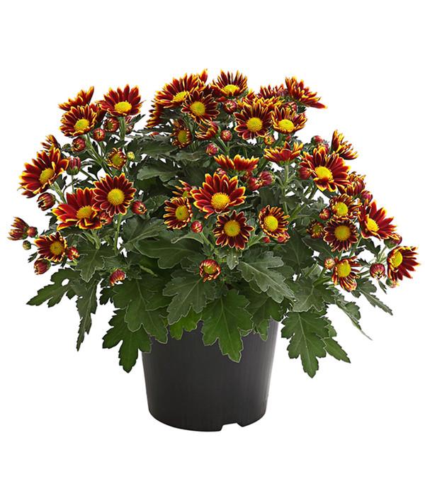 Garten Center Dehner: Garten-Chrysantheme, Sonderfarben