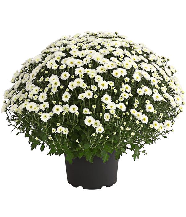 garten chrysantheme sortenmix dehner. Black Bedroom Furniture Sets. Home Design Ideas