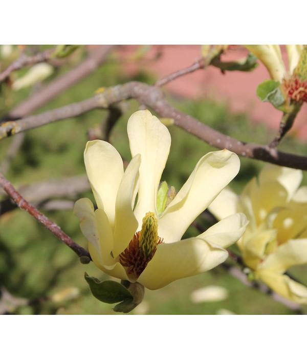 gelbe stern magnolie 39 gold star 39 dehner. Black Bedroom Furniture Sets. Home Design Ideas