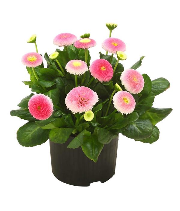 gänseblümchen im topf kaufen amazon