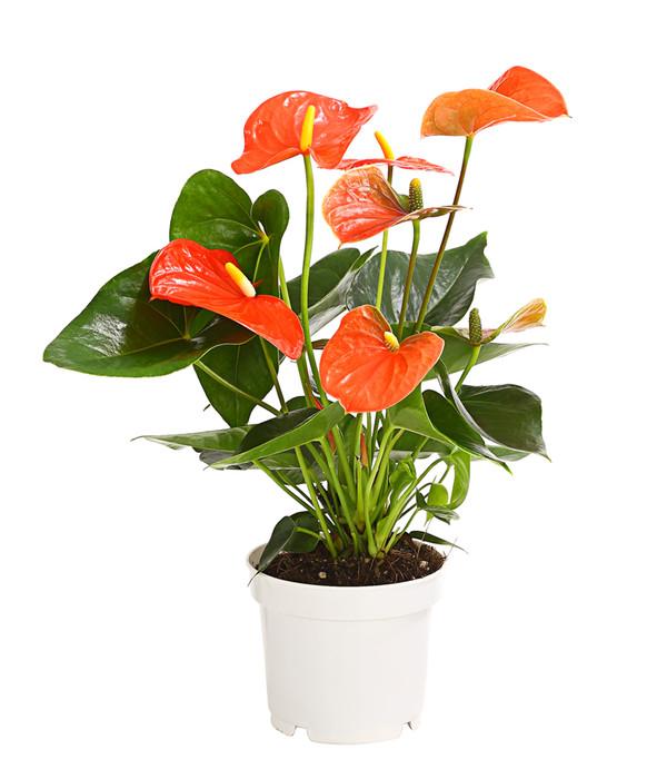 gro e flamingoblume anthurie orange dehner. Black Bedroom Furniture Sets. Home Design Ideas