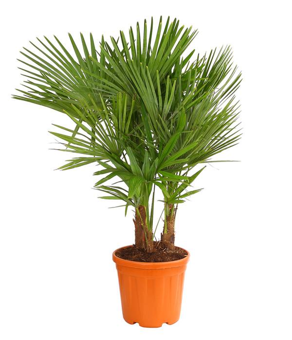 500 Palmensamen Samen Trachycarpus fortunei bis chinesische Hanfpalme 17 Grad