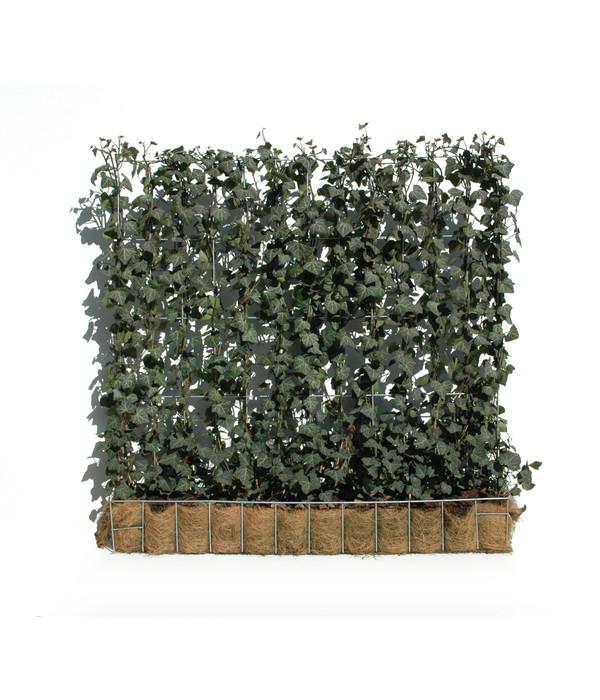 hecke am laufenden meter efeu 100 cm dehner. Black Bedroom Furniture Sets. Home Design Ideas