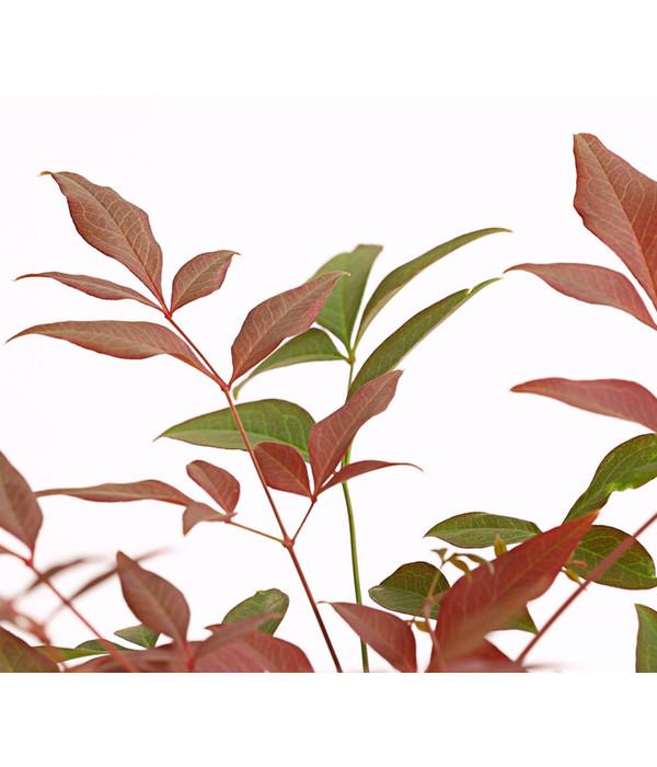 Heiliger Bambus \'Obsessed\' | Dehner