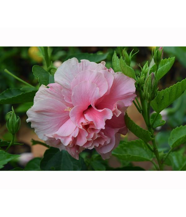 hibiscus 39 duc de brabant 39 garten eibisch dehner. Black Bedroom Furniture Sets. Home Design Ideas