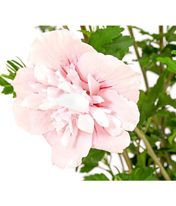 hibiscus 39 pink chiffon 39 garten eibisch dehner. Black Bedroom Furniture Sets. Home Design Ideas