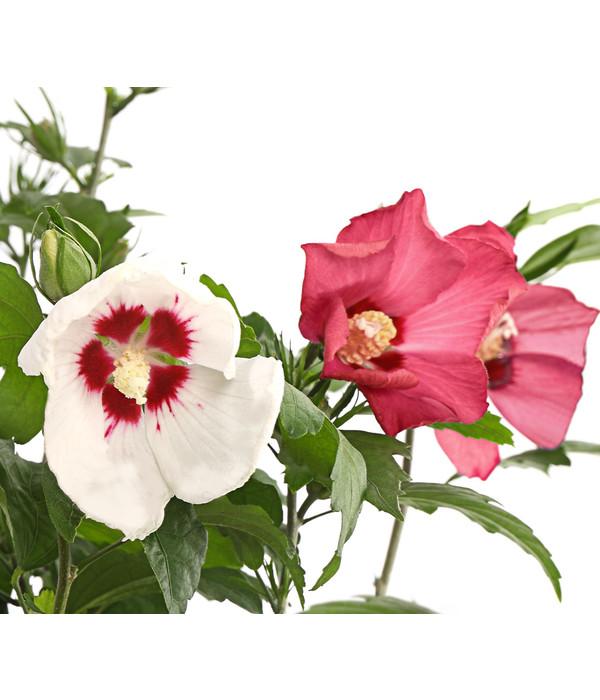 Hibiskus Garten Eibisch Rot Weiß Dehner