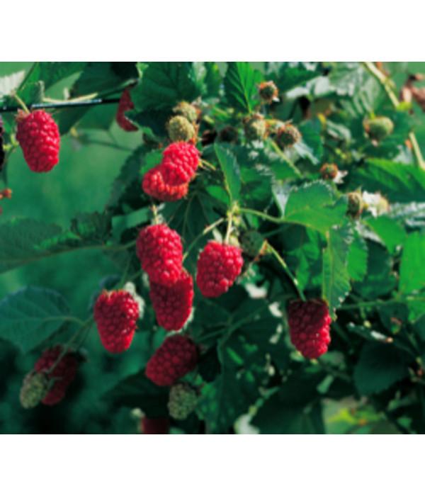 Lieblings Him-Brombeere 'Tayberry' | Dehner @MU_53