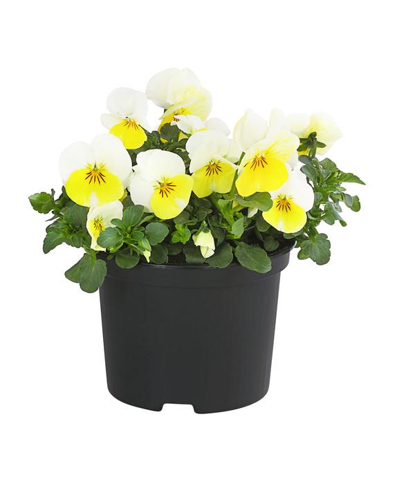 Stiefmütterchen gelb Beliebte und anspruchslose Frühlingspflanzen