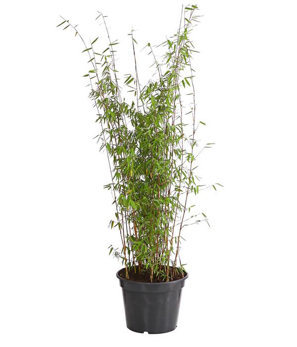 Jade-Bambus \'Jiuzhaigou\' | Dehner