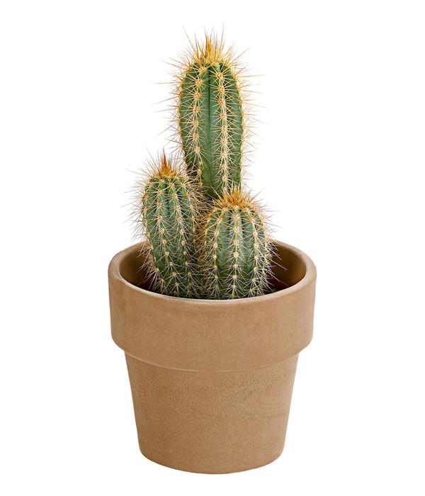 Kaktus sortenmix in keramik dehner - Kaktus zimmerpflanze ...
