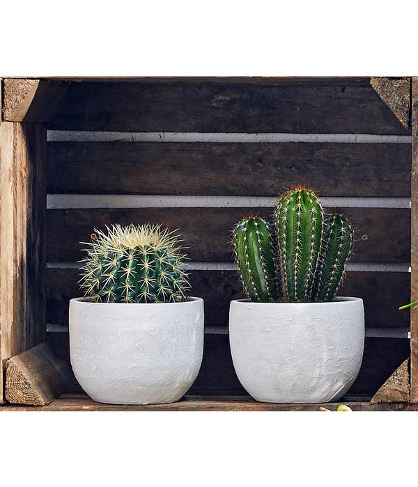 kaktus sortenmix dehner. Black Bedroom Furniture Sets. Home Design Ideas