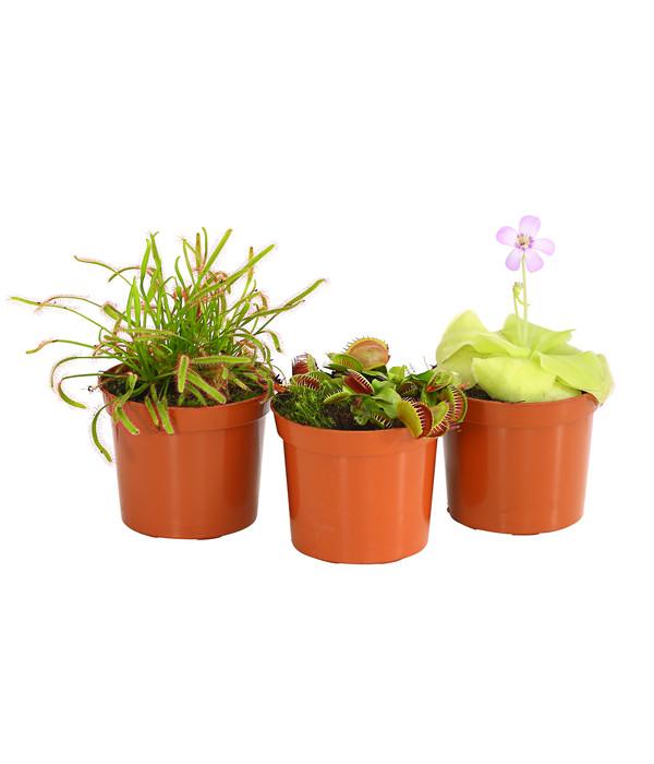 Karnivoren Pflanzen Set Dehner