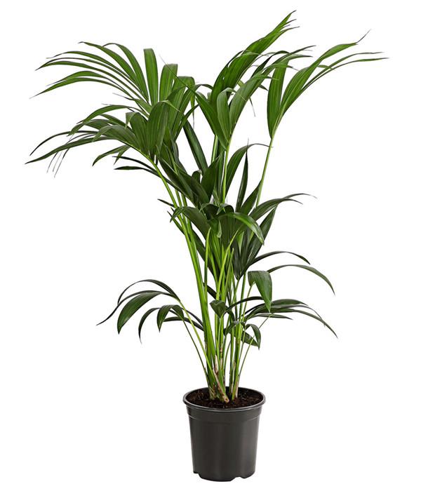 kentia palme pflege kentia palme ist mit richtiger pflege eine anschaffung palmen pflege der. Black Bedroom Furniture Sets. Home Design Ideas