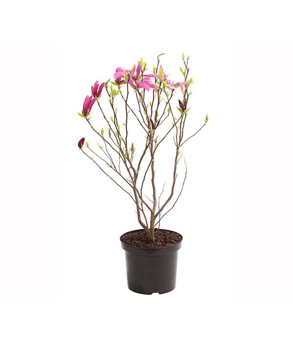 magnolie 39 susan 39 dehner. Black Bedroom Furniture Sets. Home Design Ideas