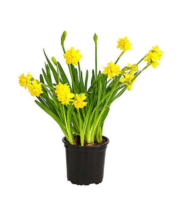 "Narzissen Pflanze im Topf  ""Tête-à-Tête""  Osterglocke"