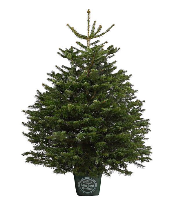 Weihnachtsbaum im topf dehner