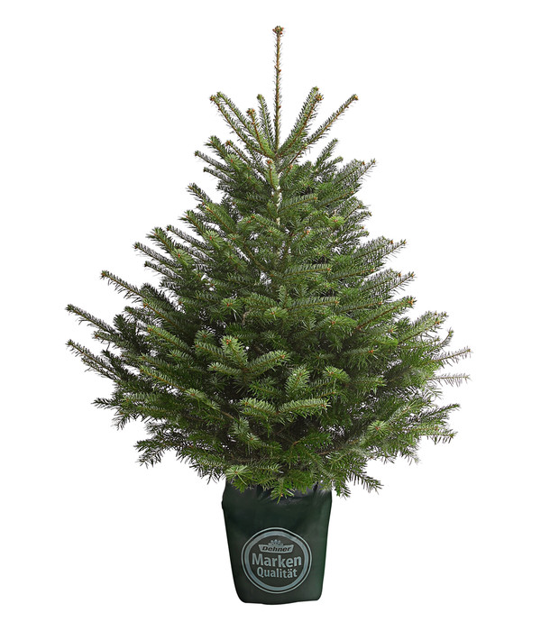 Kleiner Tannenbaum Im Topf.Nordmann Tanne B Sortierung 100 125 Cm Im Topf Gewachsen