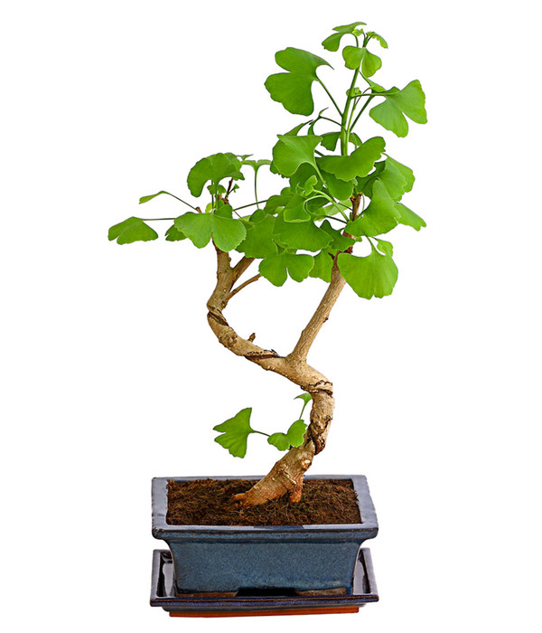 outdoor bonsai ginkgobaum dehner. Black Bedroom Furniture Sets. Home Design Ideas