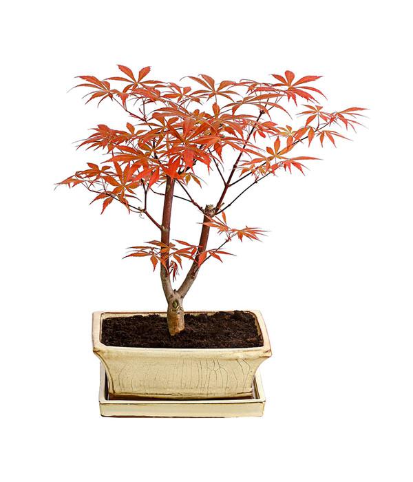 outdoor bonsai roter f cherahorn 39 atropurpureum 39 dehner. Black Bedroom Furniture Sets. Home Design Ideas