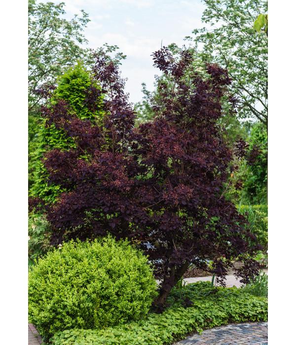per ckenstrauch 39 royal purple 39 30 50 cm dehner. Black Bedroom Furniture Sets. Home Design Ideas