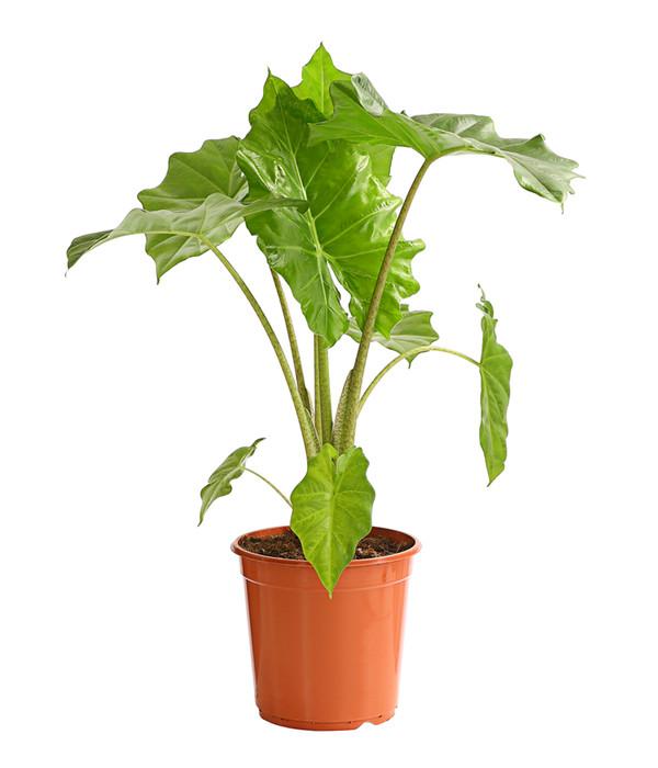 """GUT riesig das Elefantenohr /""""Alocasia odora/"""" tolle Zimmerpflanze Geschenk."""