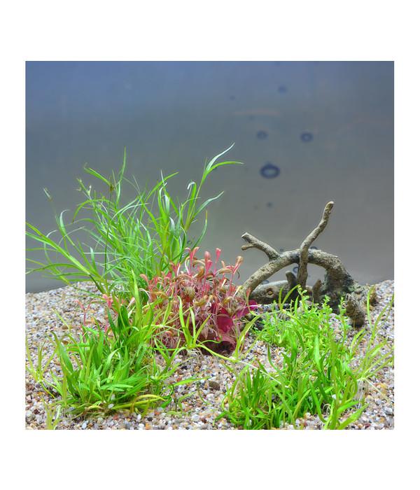 planet plants 20er set invitro topf aquarium pflanzen dehner. Black Bedroom Furniture Sets. Home Design Ideas
